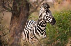 Plains Zebra stockbilder