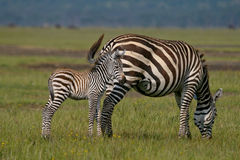 Plains zebra Royalty Free Stock Image