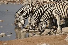 Plains Zebra. (Equus quagga) at the waterhole in the Etosha National Park, Namibia stock photos