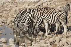 Plains Zebra. (Equus quagga) drinking at the waterhole in the Etosha National Park, Namibia royalty free stock photography