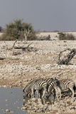 Plains Zebra Stock Photography