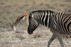 Plains Zebra Royalty Free Stock Photography