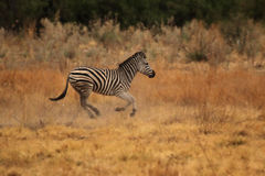 Plains Zebra Stock Photo