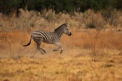 Plains Zebra stock photo