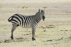 Plains Zebra Royalty Free Stock Image