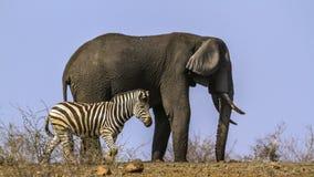 Plains zebra and African bush elephant in Kruger National park, Stock Photos