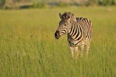 Plains zebra on the African savanna Royalty Free Stock Image