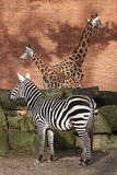 Plains Zebra And Two Giraffes Stock Photo