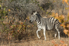 Plains zebra in the bush Stock Photography