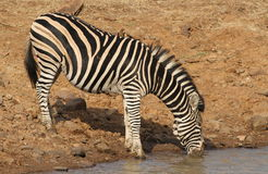 Plains zebra (common zebra or Burchell's zebra), Equus quagga Royalty Free Stock Images