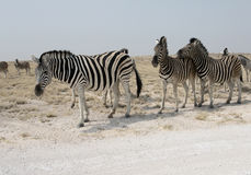 Plains zebra, Common zebra or Burchells zebra, Equus quagga Stock Images