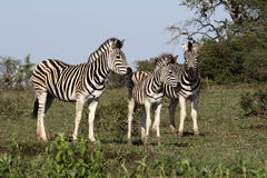 Plains zebra, Common zebra or Burchells zebra, Equus quagga Stock Photo