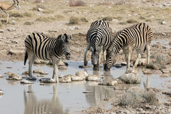 Plains zebra, Common zebra or Burchells zebra, Equus quagga Royalty Free Stock Photography
