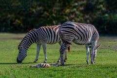 Plains zebra, Common zebra or Equus quagga graze on pasture. Plains zebra, Common zebra or Equus quagga graze on pasture with green background Stock Photo