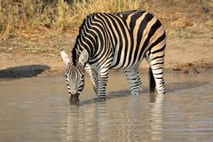 Plains Zebra drinking. A Plains (Burchell's) Zebra (Equus quagga) drinking water, South Africa Royalty Free Stock Photo