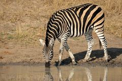 Plains Zebra drinking. A Plains (Burchell's) Zebra (Equus quagga) drinking water, South Africa Royalty Free Stock Photos
