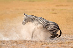 Plains Zebra in dust Royalty Free Stock Photo