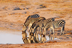 Plains Zebra (Equus Burchelii) drinking at Nyamand royalty free stock photos