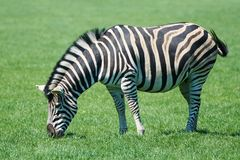 Plains Zebra Equus burchelli chapmani Royalty Free Stock Photo