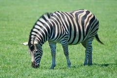 Plains Zebra Equus burchelli chapmani Stock Photos