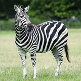 Plains Zebra (Equus burchelli chapmani) Stock Images