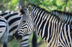 Plains Zebra (Equus Burchelli) close-up Royalty Free Stock Photos