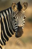 Plains Zebra (Equus Burchelli) close-up Stock Image