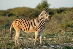 Plains zebra - Etosha National Park Stock Images