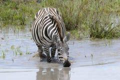 Plains zebra (Equus burchellii) drinking Stock Images