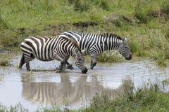 Plains zebra (Equus burchellii) drinking Royalty Free Stock Photography