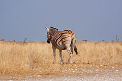 Plains zebra (Equus quagga) Stock Photos