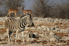 Plains Zebra (Equus quagga) Royalty Free Stock Images