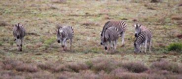 Plains Zebra (Equus quagga) Stock Photo