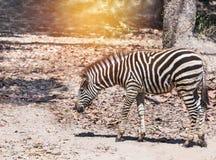 Plains zebra Equus quagga or Burchells zebra Equus burchelli. Standing in nature Stock Photo