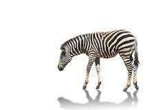 Plains zebra Equus quagga or burchells zebra isolated on white background. Plains zebra Equus quagga or Burchells zebra Equus burchelli standing isolated on Stock Image