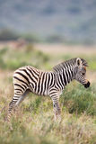 Plains Zebra (Equus quagga) Royalty Free Stock Photos