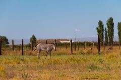 Plains zebra Equus quagga. Formerly Equus burchellii, also known as the common zebra or Burchell`s zebra Royalty Free Stock Photography