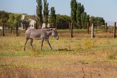 Plains zebra Equus quagga. Formerly Equus burchellii, also known as the common zebra or Burchell`s zebra Stock Images