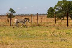 Plains zebra Equus quagga. Formerly Equus burchellii, also known as the common zebra or Burchell`s zebra Royalty Free Stock Photos