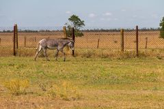 Plains zebra Equus quagga Royalty Free Stock Photo