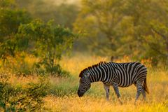 Plains zebra, Equus quagga, in the grassy nature habitat, evening light, Kruger National Park, South Africa. Wildlife scene from A. Frican nature. Zebra sunset stock images