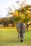 Plains zebra (Equus quagga) grazing Stock Photography