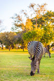Plains zebra (Equus quagga) grazing Royalty Free Stock Images