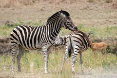 Plains zebra (Equus quagga) grooming Royalty Free Stock Photos