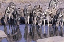 Plains zebra,  Equus quagga. Group mammals at water, Namibia Stock Photography