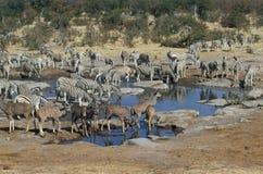 Plains zebra, Equus quagga. Group by water, Namibia Royalty Free Stock Photos