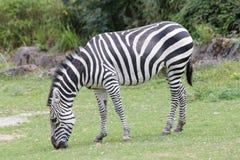 Plains zebra (Equus quagga). The plains zebra (Equus quagga), living in Africa Wildlife Royalty Free Stock Photos