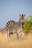 Plains Zebra (Equus quagga). In long grass Stock Image