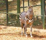 A Plains Zebra - Equus Quagga Royalty Free Stock Photography