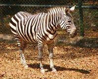 A Plains Zebra - Equus Quagga Royalty Free Stock Image